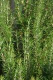 Växtrosmarinanstrykning till mat Arkivbild