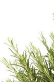 växtrosmarinar royaltyfria bilder