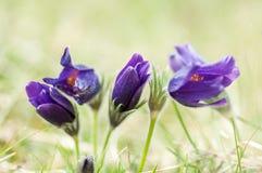 Växtståendepasqueflower Arkivfoton