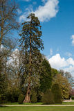 Växtståendewellingtonia Royaltyfri Bild
