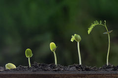 Växttillväxt från kärnar ur trädet