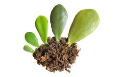 Växttillväxt i en cirkulering av att åldras som var begreppsmässig på en vit, isolerade bakgrund royaltyfri foto