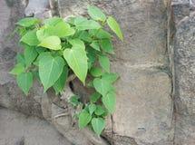 Växttillväxt i sprucken sten Arkivbild