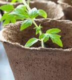 växttomat Arkivfoto