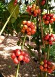 Växtträd för Robusta kaffe Mogna röda körsbärsröda bönor bildar Ratchburi, Thailand Arkivbilder