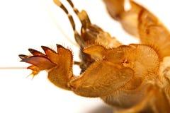Vågbrytaresyrsa Gryllotalpidae som isoleras på vit bakgrund Fotografering för Bildbyråer