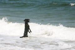Vågor och hund Arkivbilder