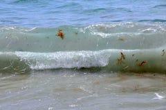 Vågor på stranden som innehåller havsväxt arkivbild