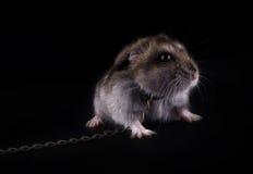 våldsam hamster mycket Royaltyfri Fotografi