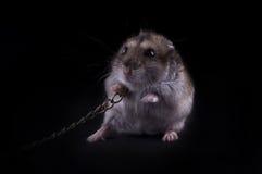 våldsam hamster mycket Royaltyfria Foton