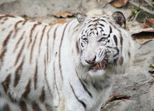 Våldsam tiger Fotografering för Bildbyråer
