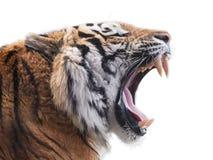 våldsam tiger Royaltyfria Bilder