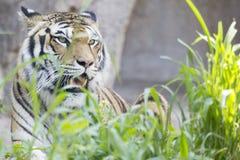 Våldsam tiger i gräset Royaltyfri Fotografi