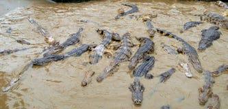 våldsamma krokodiler Royaltyfri Fotografi
