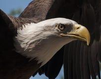 Våldsamt öga av den skalliga örnen Arkivfoton