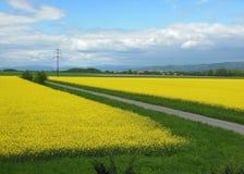 Våldta olja - ett landskap mycket av gula blommor Royaltyfri Fotografi