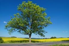 Våldtar det lövfällande trädet för patiensen med en asfaltväg framme av en blomning fältet Royaltyfri Bild