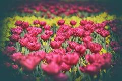 Våräng med rosa färg- och gulingtulpan arkivfoton