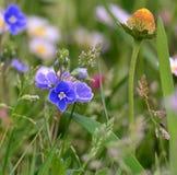 Vårängblommor, södra Bohemia Royaltyfria Bilder