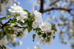 Våräpplefruktträdgård Royaltyfria Bilder
