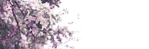 Våräppleträdet blomstrar på vit bakgrund Royaltyfri Foto