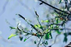 Våräppleträdet lämnar, och blommor äter larven arkivfoton