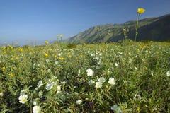Vårökenliljor i fält av av Henderson Road i Anza-Borrego ökendelstatspark, nära Anza Borrego Springs, CA Arkivfoton