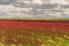 Vår Alta Murgia National Park: fält av purpurfärgade blommor Apulia-ITALIEN arkivfoton