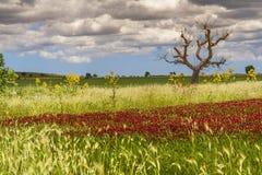 Vår Alta Murgia National Park: fält av purpurfärgade blommor Apulia-ITALIEN arkivbild