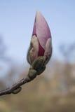 Vår av magnolian Fotografering för Bildbyråer