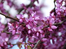 Vår - blom på busken Royaltyfri Fotografi