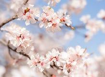 Vår blomma av träd aprikosar just rained solljus arkivbilder