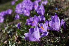 Vår Blommande violetta krokusblommor Royaltyfria Foton