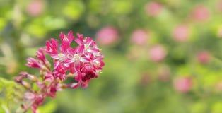 Vår blommar på en röd blomningvinbär Arkivfoto
