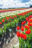Vår blommar Tulip Farm arkivbild