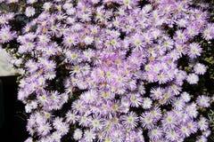Vår-, blomningträdgård-, lila-, vit- och gulingblommor, suckulent växt Arkivfoto