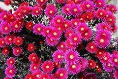 Vår-, blomningträdgård-, rosa färg- och gulingblommor, suckulent växt Fotografering för Bildbyråer
