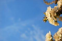 VÅR: Blomstra av körsbärsrött trä Arkivbild
