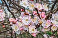 Vår Cherry Blossom Royaltyfri Foto