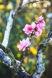 Vår Cherry Blossom Arkivbild