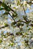 Vår Cherry Blossom Royaltyfri Bild