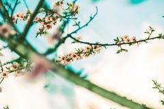 Vår Cherry Blossom Arkivfoto