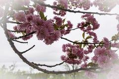 Vår Cherry Blossom Swag royaltyfri fotografi