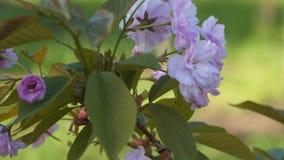 Vår Cherry Blossoms lager videofilmer