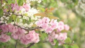 Vår Cherry Blossoms stock video