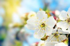 Vår Cherry Blossoms Arkivbild