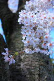 Vår Cherry Flowers Arkivbild