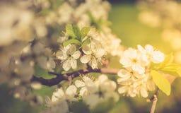 Vår Cherry Sakura White Flowers Pastel Arkivbild