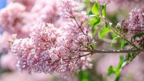 Vår eller blom- bakgrund för sommar med rosa lila blommor colo Royaltyfri Foto