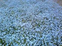 Vår - fält av blåa blommor Fotografering för Bildbyråer